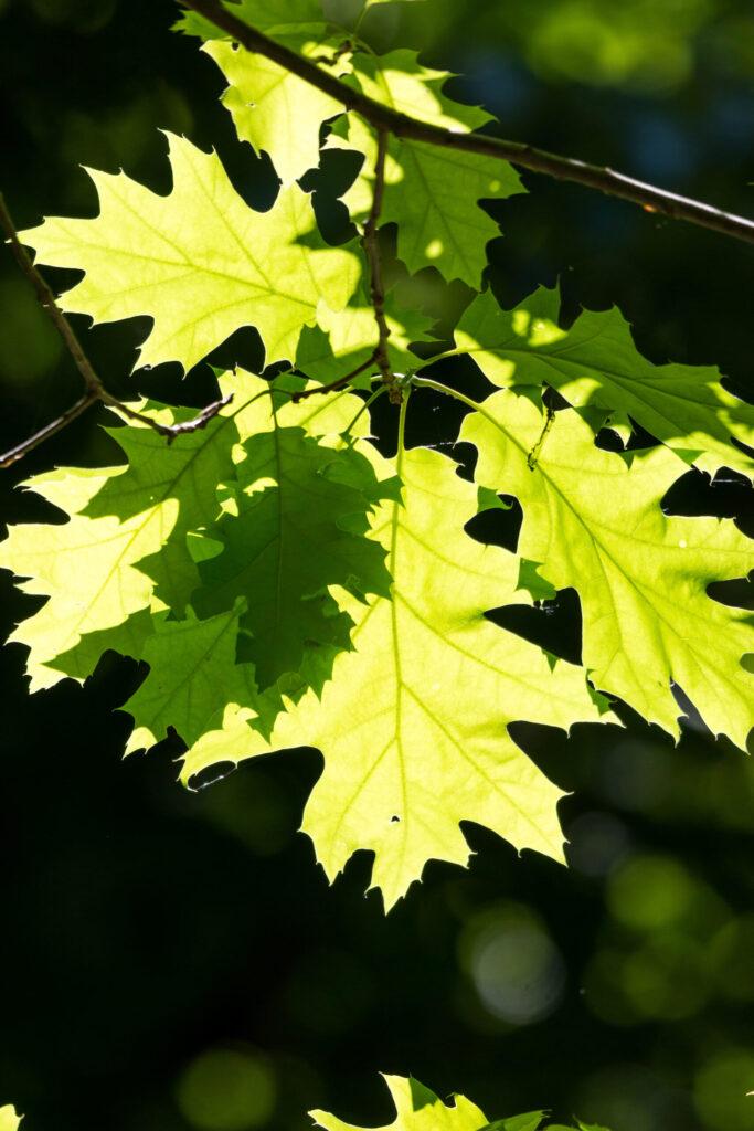 Rödek, Quercus rubra