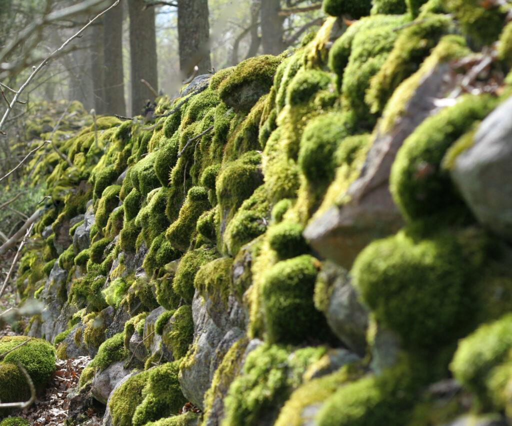 Mossa på stenmur Foto: MostPhotis