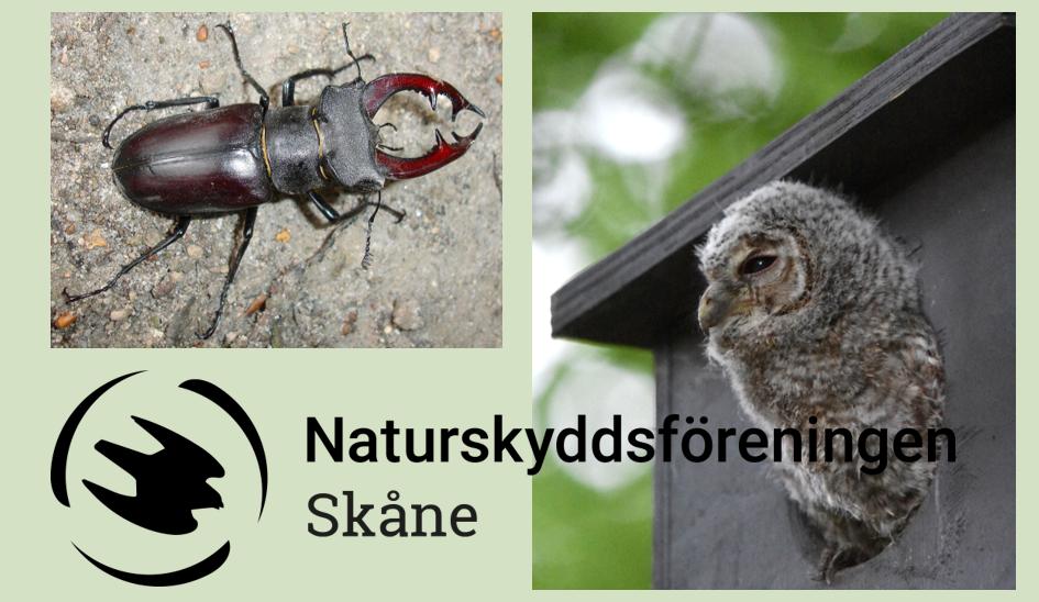 Ekoxe och kattuggla. Foto :Naturskyddsföreningen Skåne
