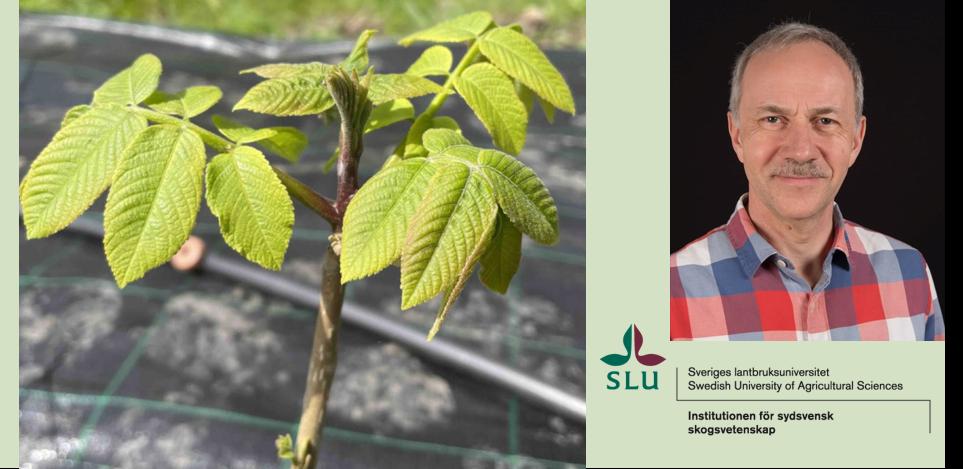 Jens Peter Skovsgaard, professor i skogsskötsel vid SLU. Bild på valnöt är från försöket. Foto: SLU