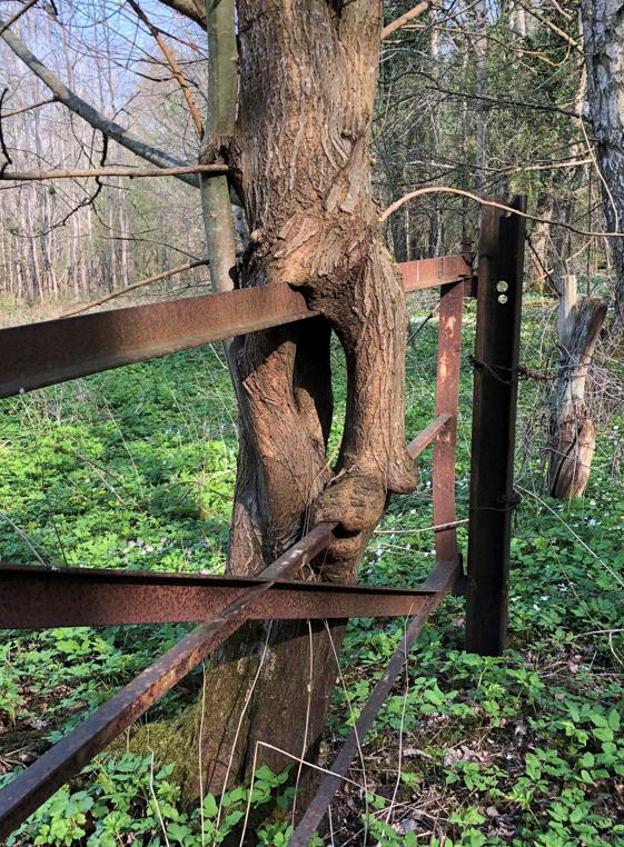 Skånes knasigaste träd Foto: Ragnar Nilsson